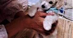 【トイプードルパピー犬成長記録6】生後50日♪初トリミングした結果!?