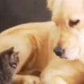 子ネコが大きなイヌにそっとくっつく。ぬくぬく、ぴとっ♪ → やさしい犬はこうします…