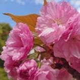 『【写真】 Xperia5 春! 地元~錦糸町~新宿等 桜・八重桜とその他お花と。』の画像