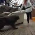 【イヌ】 これは盛り上がる! 足に付けた「風船」を割り合うゲーム → 犬を参加させたらこんな感じ…