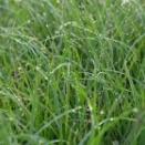 白鷺蚊帳吊(シラサギカヤツリ)、朝露をたたえた草、「シーズンズ・オブ・ラヴ」