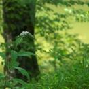 「避暑地の草花」Ⅰ
