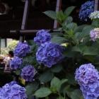 『文京区・白山神社でアジサイを撮ってきたでござるッ!』の画像