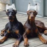 『リオで犬と猫の整形手術を禁止』の画像