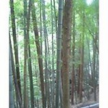 『杉の木と竹林の混交林』の画像