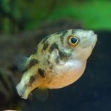 『【アクアリウム】貝類ならアベニーパファーの方がよく食う!』の画像