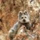 パンダよりかわいい新種のウサギ『イリナキウサギ』20年ぶりに発見される