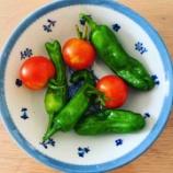 『ベランダ菜園で野菜作りを実践中 ② 【収穫と採種】』の画像