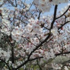 『ようやく桜が見ごろになってきたのに・・・😿』の画像
