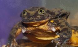 【究極の孤独死】世界で最後の一匹のカエル。彼女が見つからなければ種は絶滅。