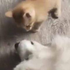 子ネコがでっかい犬にアタックする。こいつめぇ! → やさしい犬は遊んであげるんです…