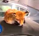 車の屋根でスヤスヤ…ネコかしらと思ったら、違った!【イギリス】
