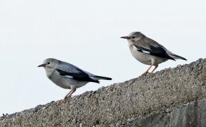 オスとメスで毛色が違う鳥を発見