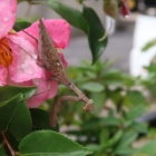 『変態か、それとも新種なのか、褐色のハラビロカマキリ庭を闊歩す』の画像