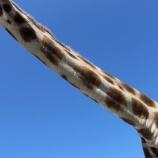 『「松直棘曲」キリンの首の骨折』の画像