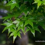 『濡れた青もみじWet blue maple』の画像