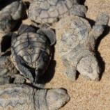 『オーストラリアでウミガメの赤ちゃんたちが次々と』の画像
