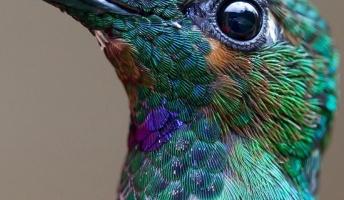 可愛くって超美しいハチ鳥の画像貼ってくわ