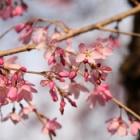 『桜の季節』の画像