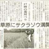 『(埼玉新聞)草原にサクラソウ満開 戸田の荒川べり』の画像