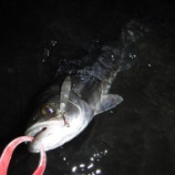 『爆風向かい風で釣る浜名湖シーバス』の画像