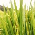"""9月9日(日)「地産地消のチカラ2018 """"農業のチカラ""""」/「キッズファーマープロジェクト2018 松山農園:棚田米」管理体験を行いました!!"""