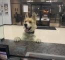 「警察犬に志願?」「迷子?」夜中に警察署のカウンターにやってきた犬
