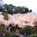 京都・平安神宮の桜とオカリナ