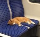 猫が電車の座席で昼寝してるけど、このままじゃ迷子になっちゃう ⇒ SNSで呼びかけたら飼い主が見つかった!(写真あり)
