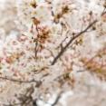 【桜の思ひ出2020】読者さまが撮った桜の写真をご紹介します!
