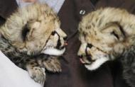 【画像】チーターの赤ちゃん世界一可愛いくてワロタwwwwwwww