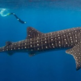 『救出された4頭のサメ』の画像