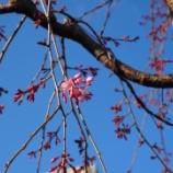 『桜前線スタート』の画像