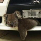 『またコアラが高速走行の車に衝突し、無傷で生還』の画像