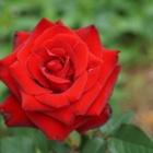 『バラの新苗【ハイブリットティーローズ・サマンサ】植え付けと株を大きくする管理方法』の画像