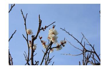『梅の花咲く』の画像