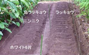 ニンニクとラッキョウの植え付け