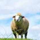 『羊は声を聞き分ける!? それって本当?』の画像