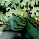 【動画】中国、残虐非道なスイカ荒らし!深夜に農家の畑のスイカが切り裂かれる! [海外]