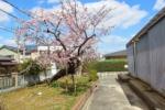 交野の桜を訪ねてみた③~青年の家。すもう練習場のところ~