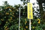 神宮寺の金澤農園さんでみかん狩り始まってる!〜11月下旬までで要予約だそうな〜