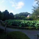 『町田市薬師池公園の蓮』の画像