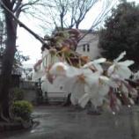 『戸田市上戸田氷川神社で桜が開花です』の画像
