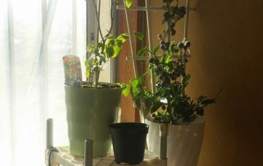 『(´-ω-`)ブルーベリーの実もの盆栽としては』の画像