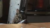 我が家の飼い猫が俺を睨んでるんだが(※画像あり)