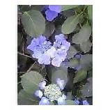 『紫陽花の咲く季節』の画像