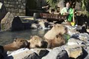 カピバラ家族が露天風呂楽しむ 「かわいい」と歓声 伊豆