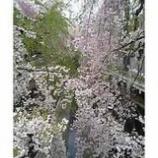 『さくらの名所<埼玉 所沢 小手指>3月31日掲載ご報告』の画像