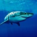 【画像あり】頭が2つあるサメの報告が世界で増加....