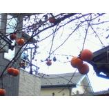 『枝に残る柿』の画像